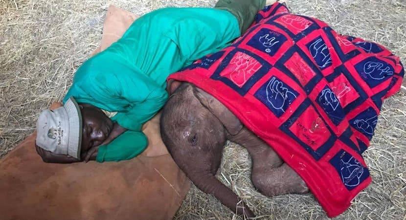capacuidador dorme do lado de elefantinho órfão para que se sinta protegido