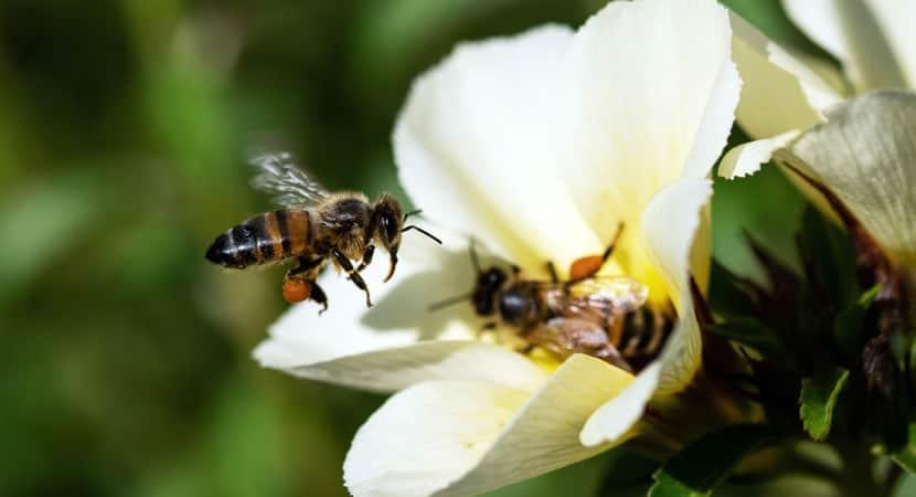 CAPA Veneno encontrado na abelha pode ajudar a matar celulas do cancer de mama