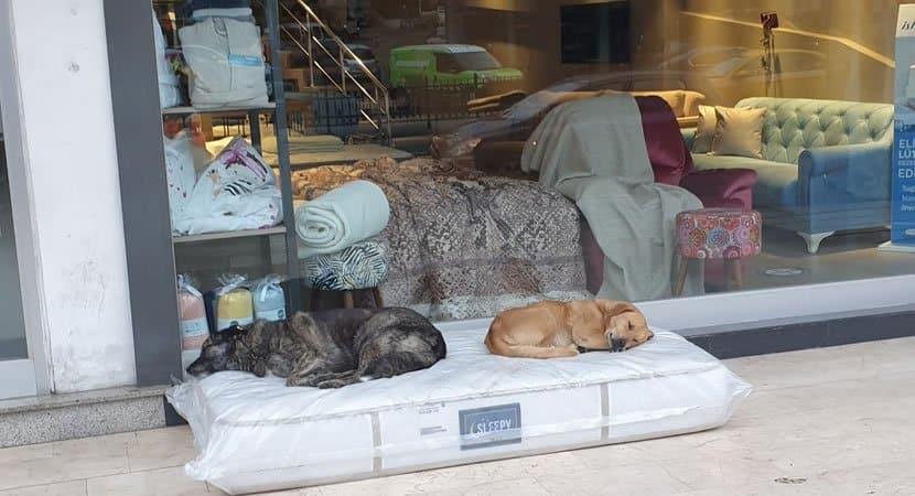 CAPA Loja de moveis coloca colchao todos os dias na frente do estabelecimento para cachorros de rua dormirem