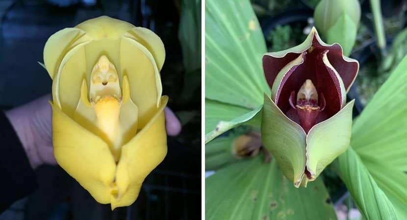 Capa Essas orquideas parecem guardar bebes em seu interior. Um espetaculo da natureza