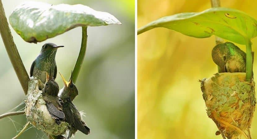 capaessa beija flor construiu um ninho com teto para proteger os seus filhotes Sabedoria materna