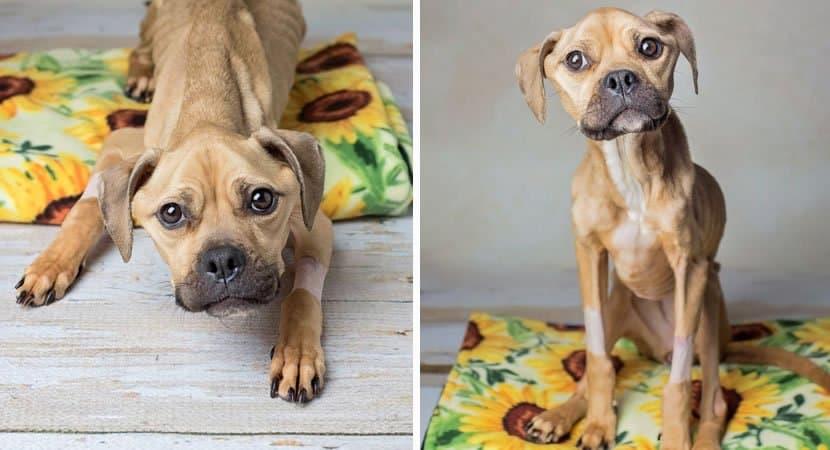 3mesmo tendo sido maltratada cadela debilitada oferece carinho aos seus salvadores Pura e amorosa