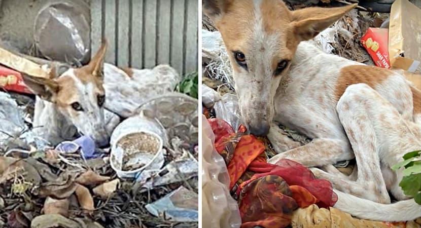 capacao abandonado e desnutrido que viva em pilha de lixo e resgatado e reaprende a confiar nos humanos