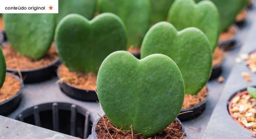 capasuculentas em forma de coracao elas trarao beleza e darao um toque unico ao seu jardim