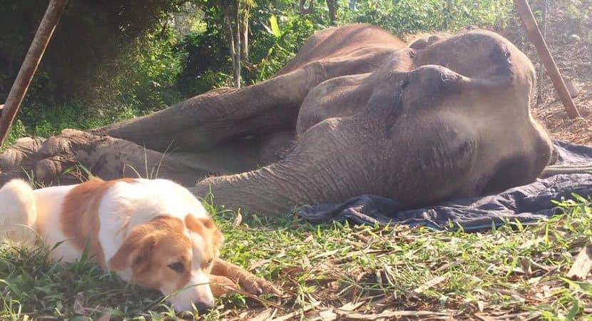 1 capa Cachorrinha se recusa a abandonar amigo elefante em ultimas horas de vida Permaneceu ate o fim