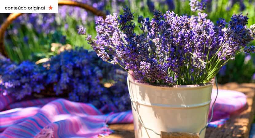 capaaprenda a plantar lavanda em vasos e deixe sua casa mais fresca e perfumada