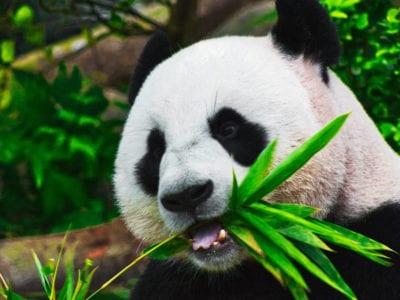 5 capa Pandas gigantes foram retirados da lista de animais ameacados de extincao na China