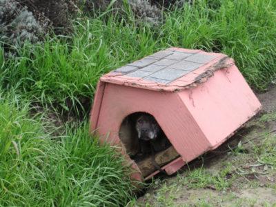 3 capa Abandonada a beira da estrada junto com sua casinha cadela 9 anos resiste as dificuldades e e salva