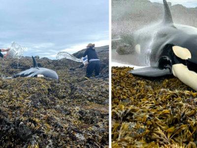 3 capa Populacao se mobiliza e ajuda orca encalhada a se manter hidratada ate mare subir